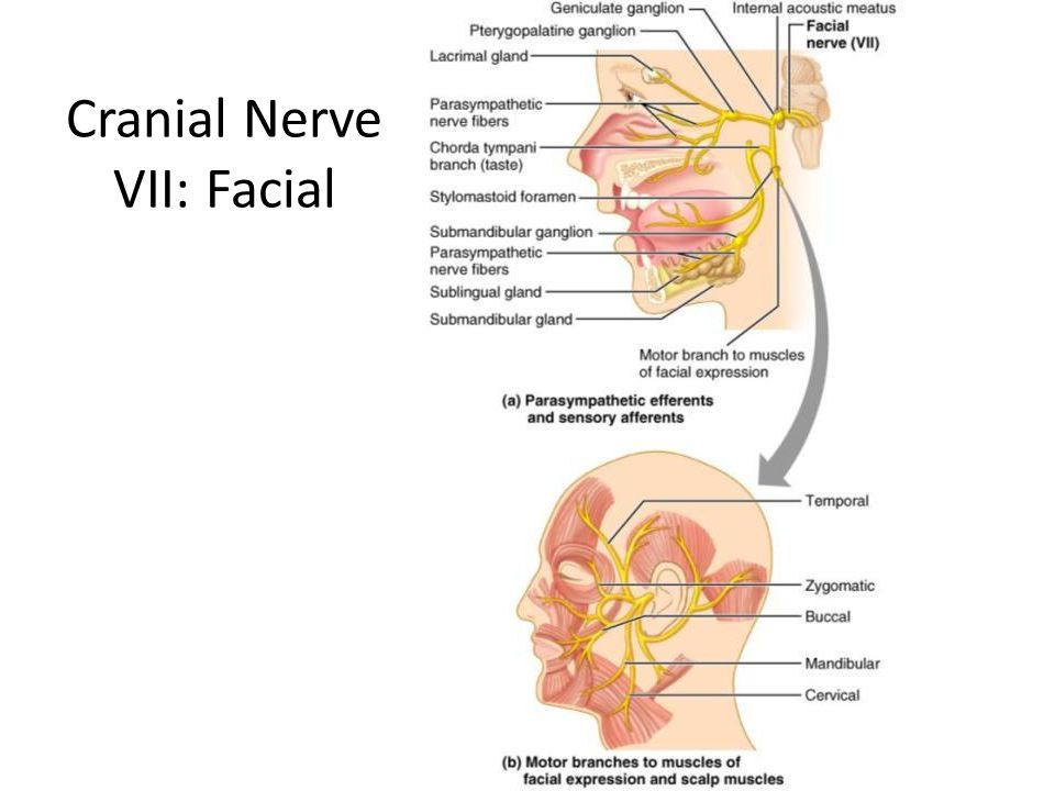 Seventh cranial nerve anatomy