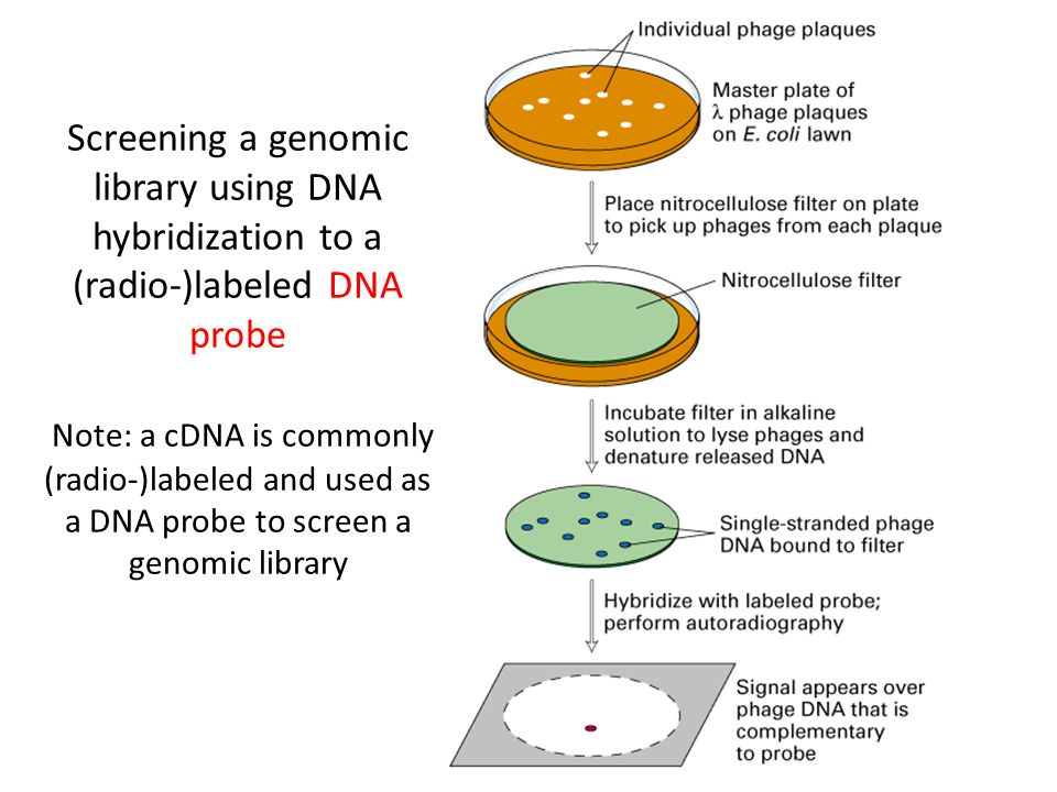 genomic library
