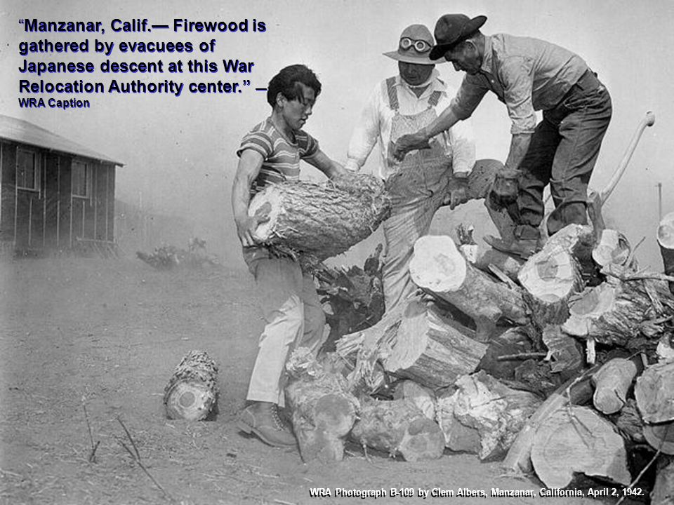 Manzanar, Calif.— Firewood is gathered by evacuees of Japanese descent at this War Relocation Authority center. —WRA Caption