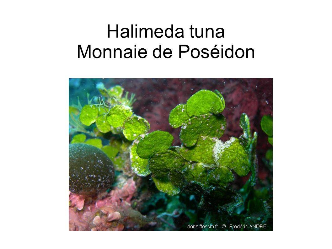 Halimeda tuna Monnaie de Poséidon