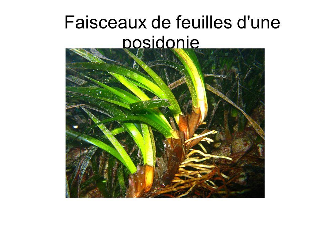 Faisceaux de feuilles d une posidonie