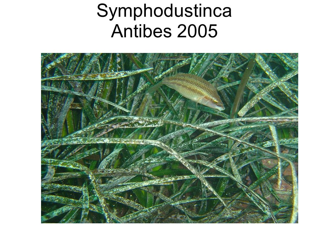 Symphodustinca Antibes 2005