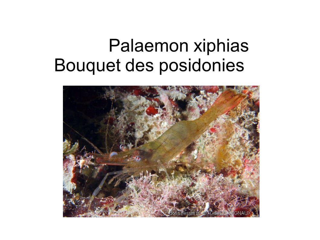 Palaemon xiphias Bouquet des posidonies