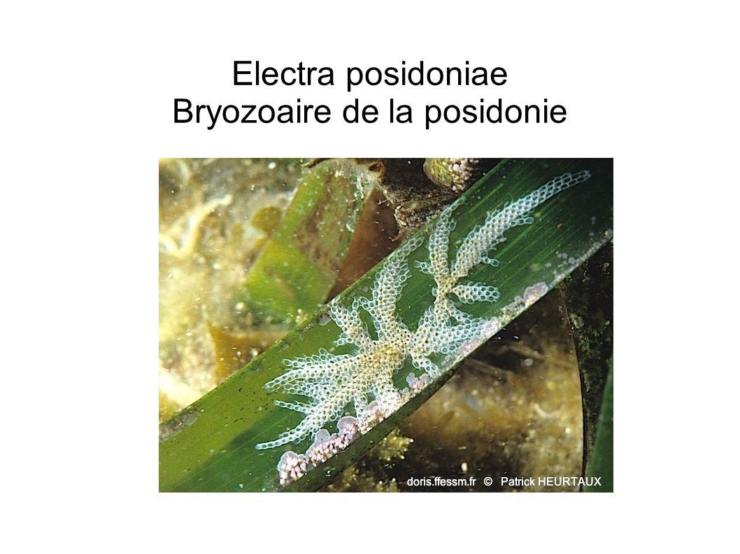 Electra posidoniae Bryozoaire de la posidonie