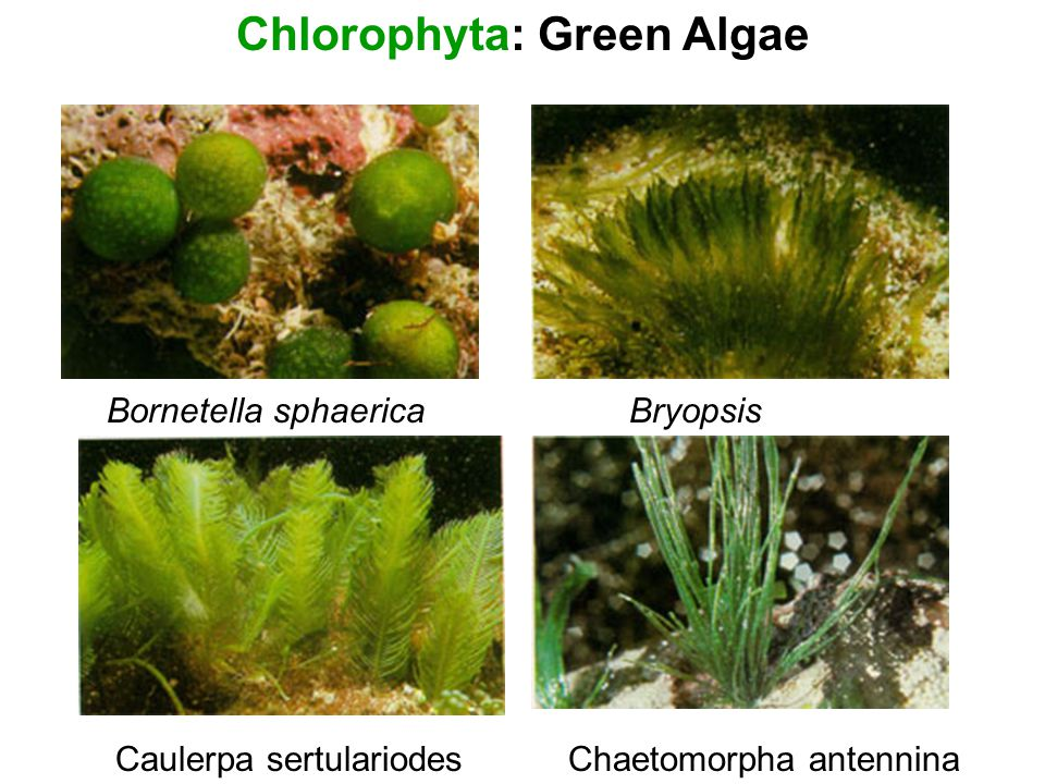 Hawaiian Algae ID. - ppt video online download