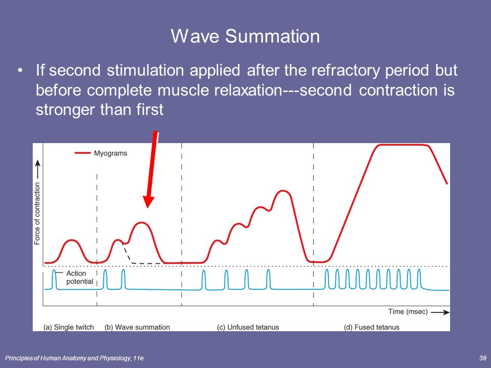 Muscle contraction and wave summation