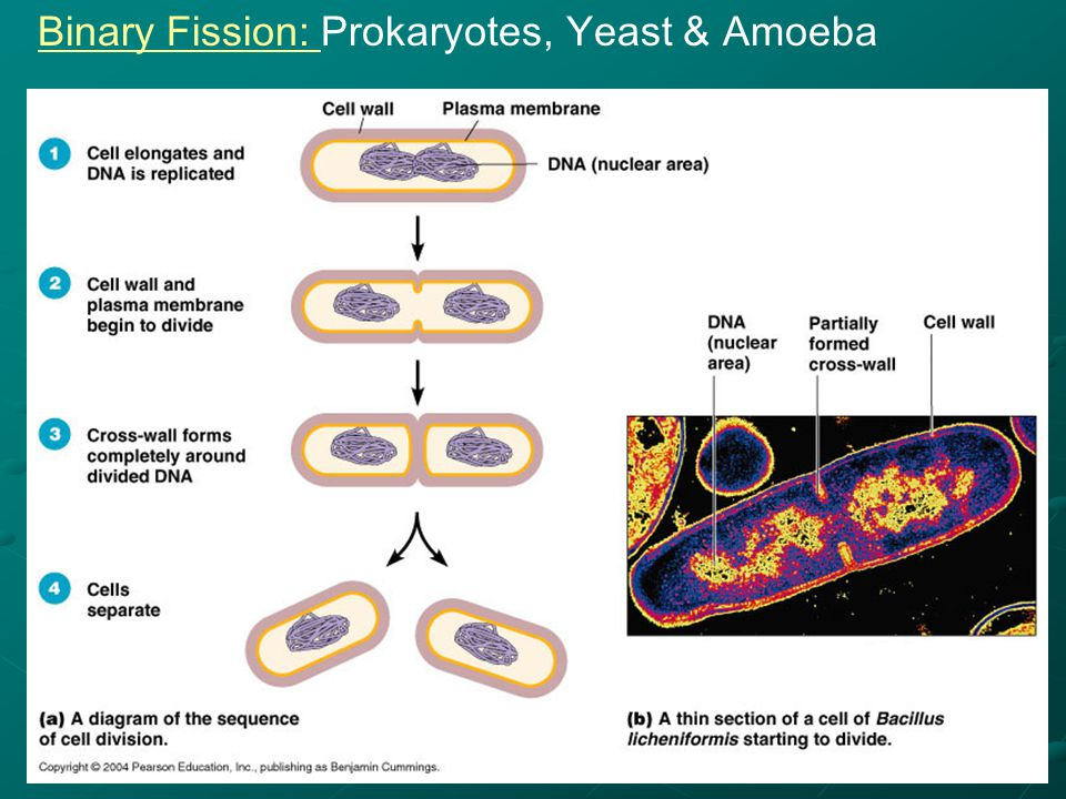 cell division part 1 prokaryotes binary fission ppt. Black Bedroom Furniture Sets. Home Design Ideas