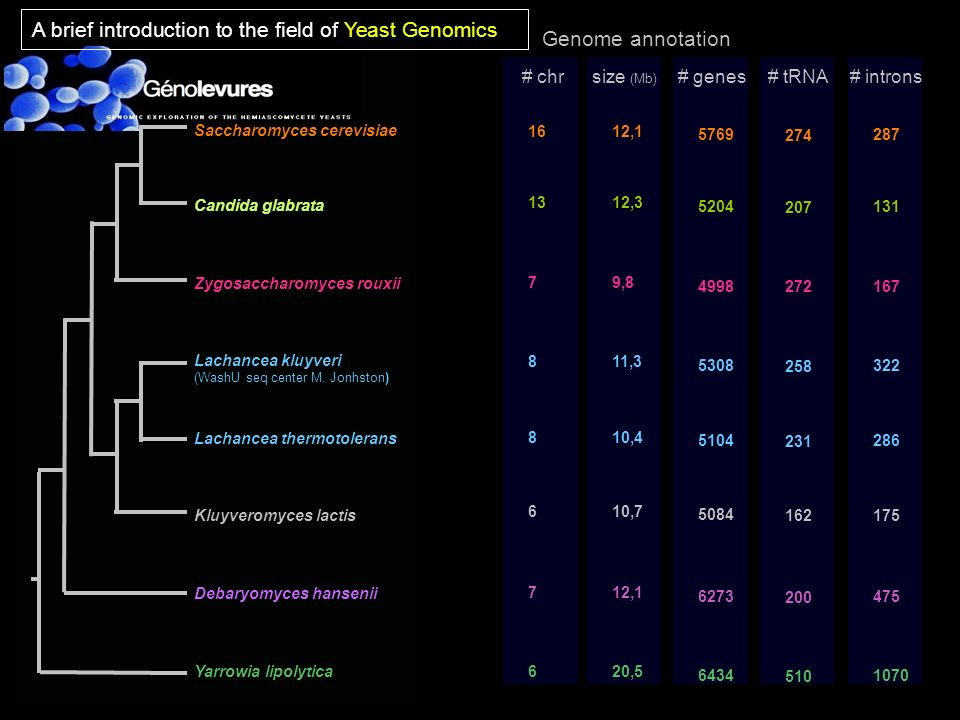 A brief introduction to the field of Yeast Genomics Genome annotation
