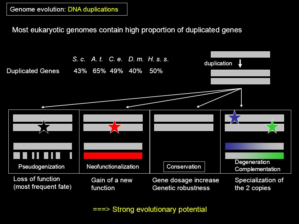 Most eukaryotic genomes contain high proportion of duplicated genes