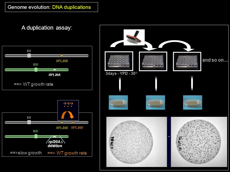 A duplication assay: Genome evolution: DNA duplications and so on…