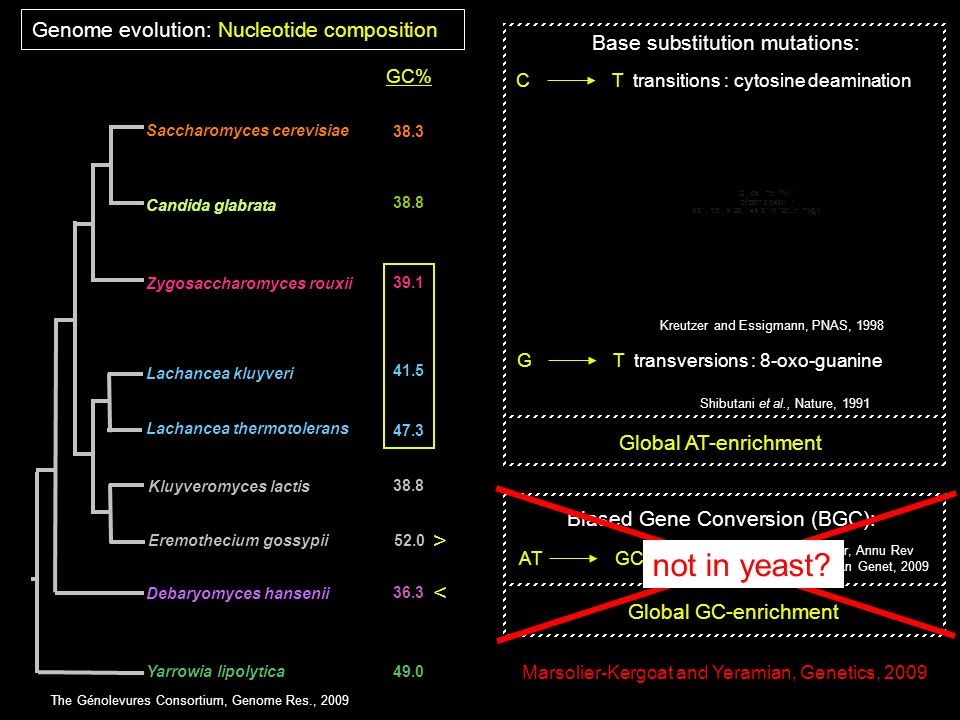 not in yeast > < Genome evolution: Nucleotide composition