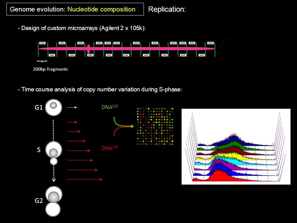 Replication: G1 S G2 Genome evolution: Nucleotide composition