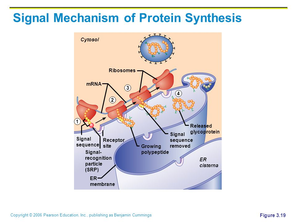 5 4 1 synthesis of a protein Pre-sleep protein for muscle  increased muscle protein synthesis  rich isalean bar or other product that was rich in whey protein just before bed (4, 5).