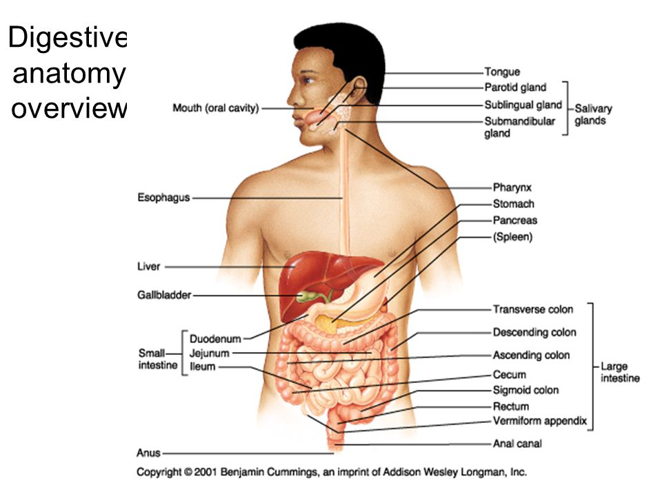 Digestive Anatomy Overview on digestive system diagram 2