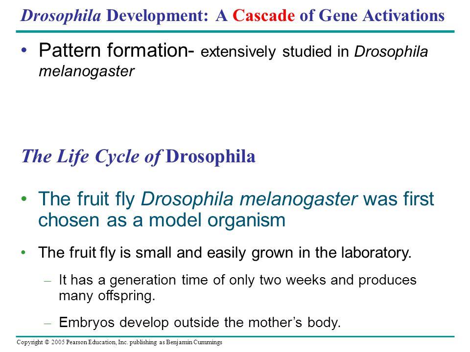 life cycle of drosophila melanogaster pdf