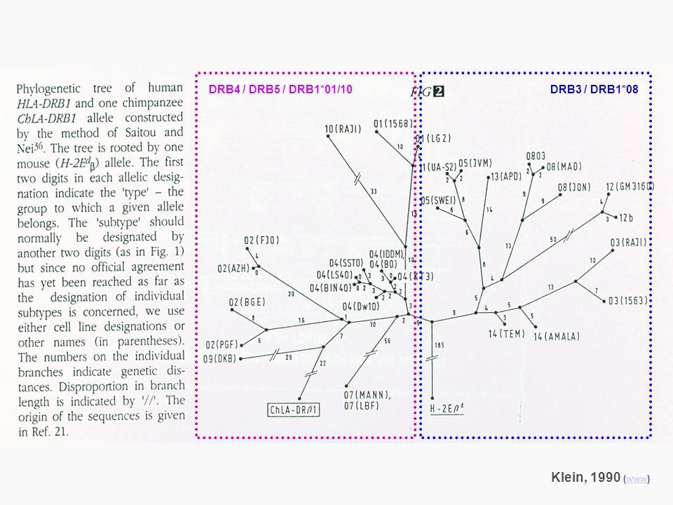 DRB4 / DRB5 / DRB1*01/10 DRB3 / DRB1*08 Klein, 1990 (www)