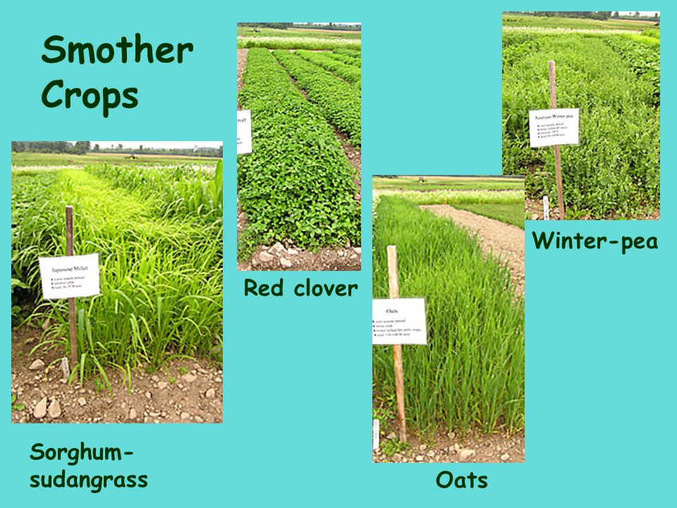 Smother Crops Winter-pea Red clover Sorghum-sudangrass Oats