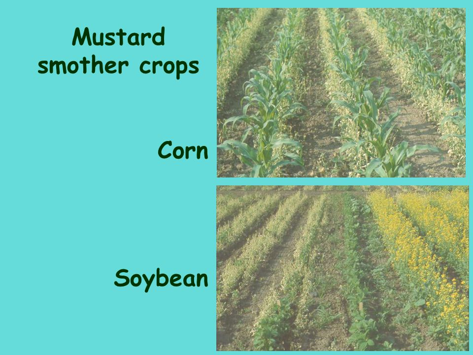 Mustard smother crops Corn Soybean