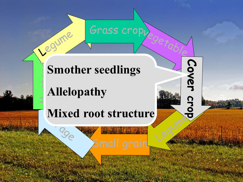 Smother seedlings Allelopathy Cover crop Mixed root structure
