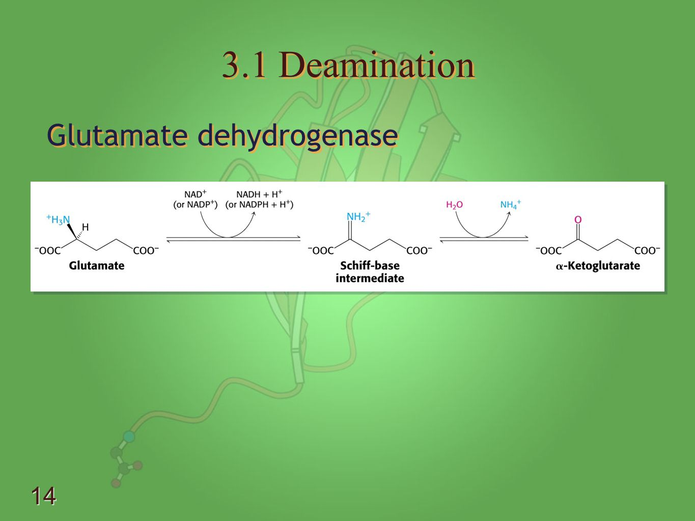 3.1 Deamination Glutamate dehydrogenase - Uses either NAD or NADP