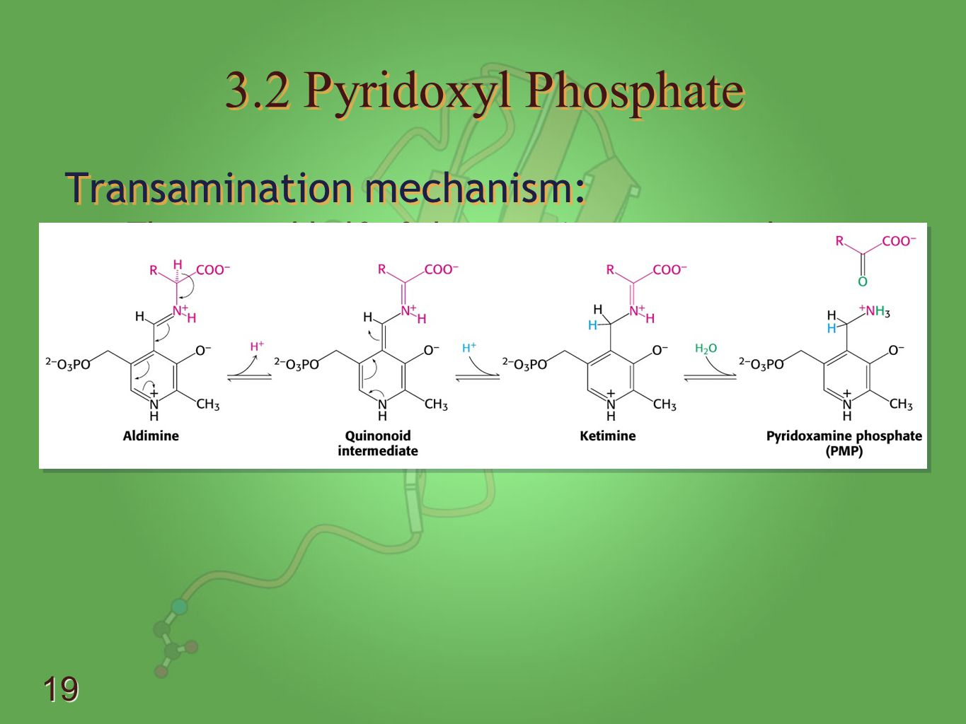 3.2 Pyridoxyl Phosphate Transamination mechanism: