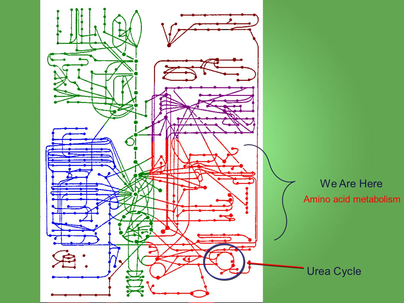 We Are Here Urea Cycle Amino acid metabolism
