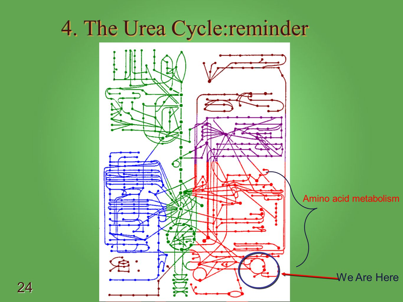 4. The Urea Cycle:reminder