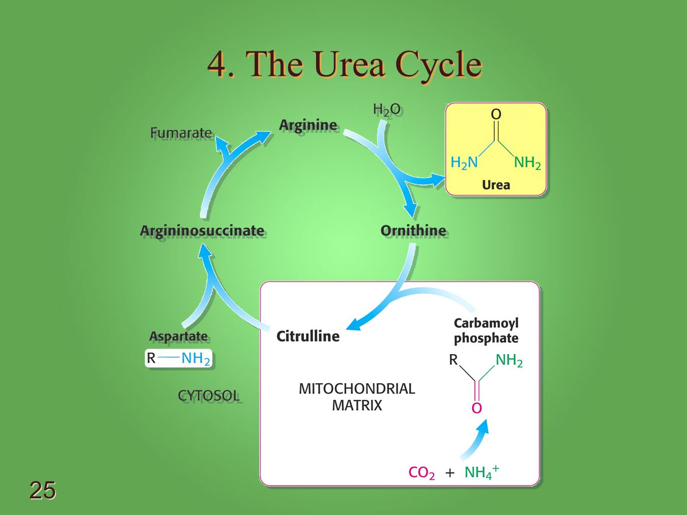 4. The Urea Cycle - Proposed by Hans Krebs and Kurt Henseleit in 1932