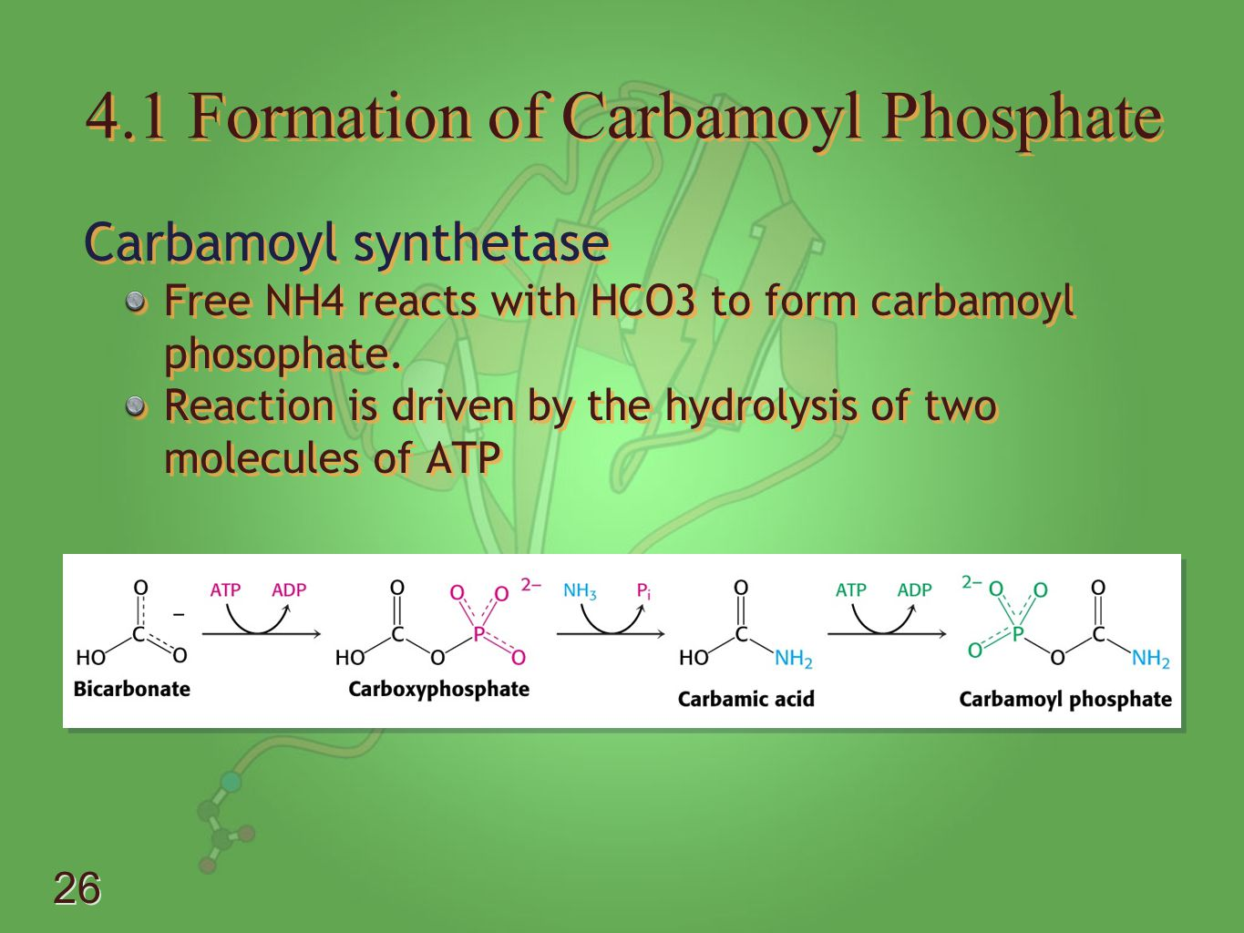 4.1 Formation of Carbamoyl Phosphate