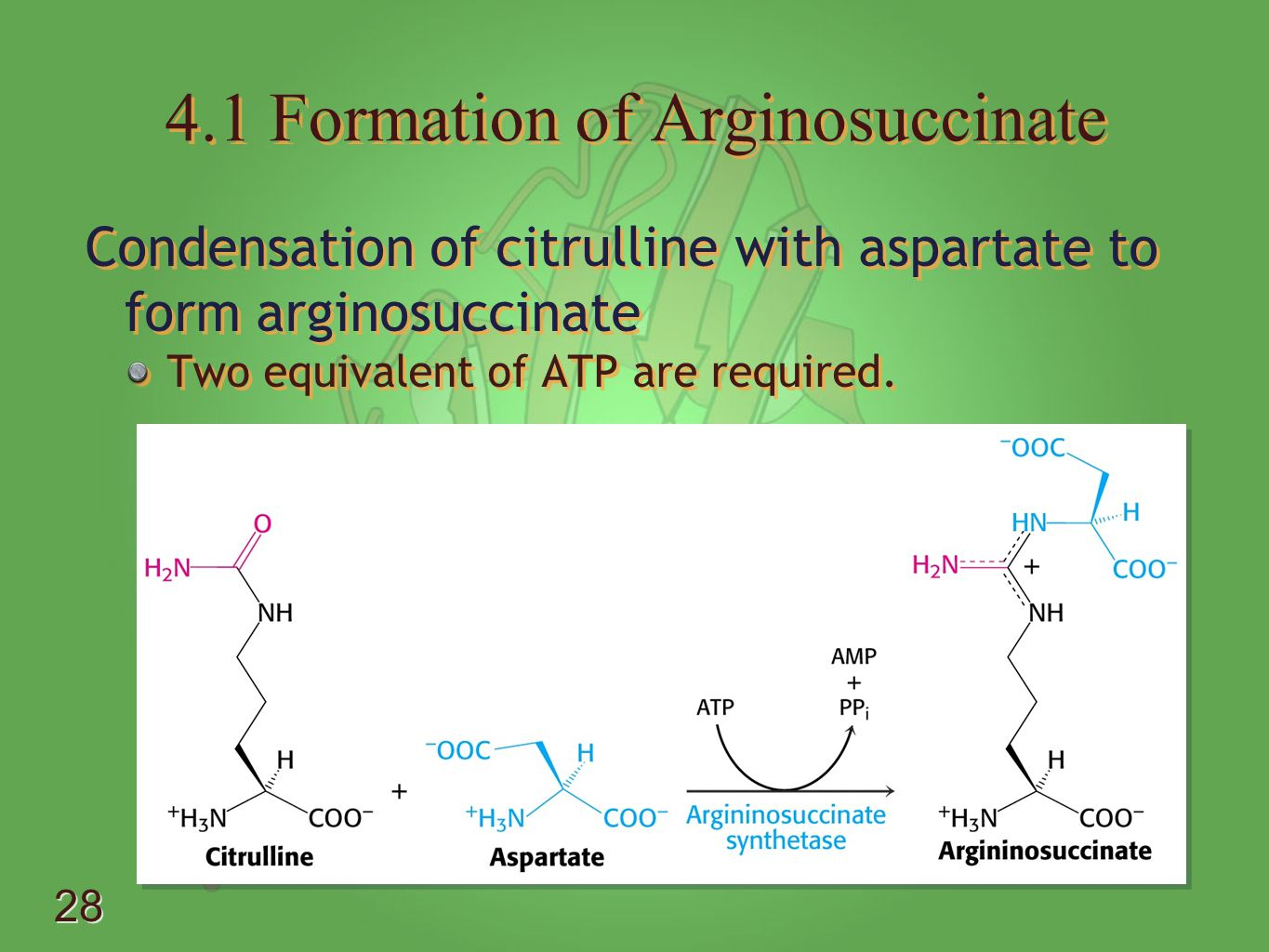 4.1 Formation of Arginosuccinate