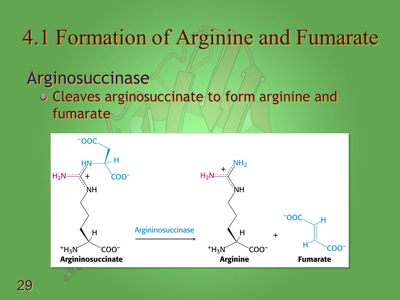 4.1 Formation of Arginine and Fumarate