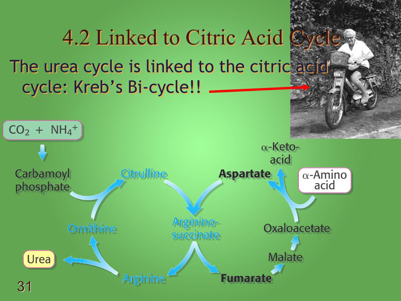 4.2 Linked to Citric Acid Cycle