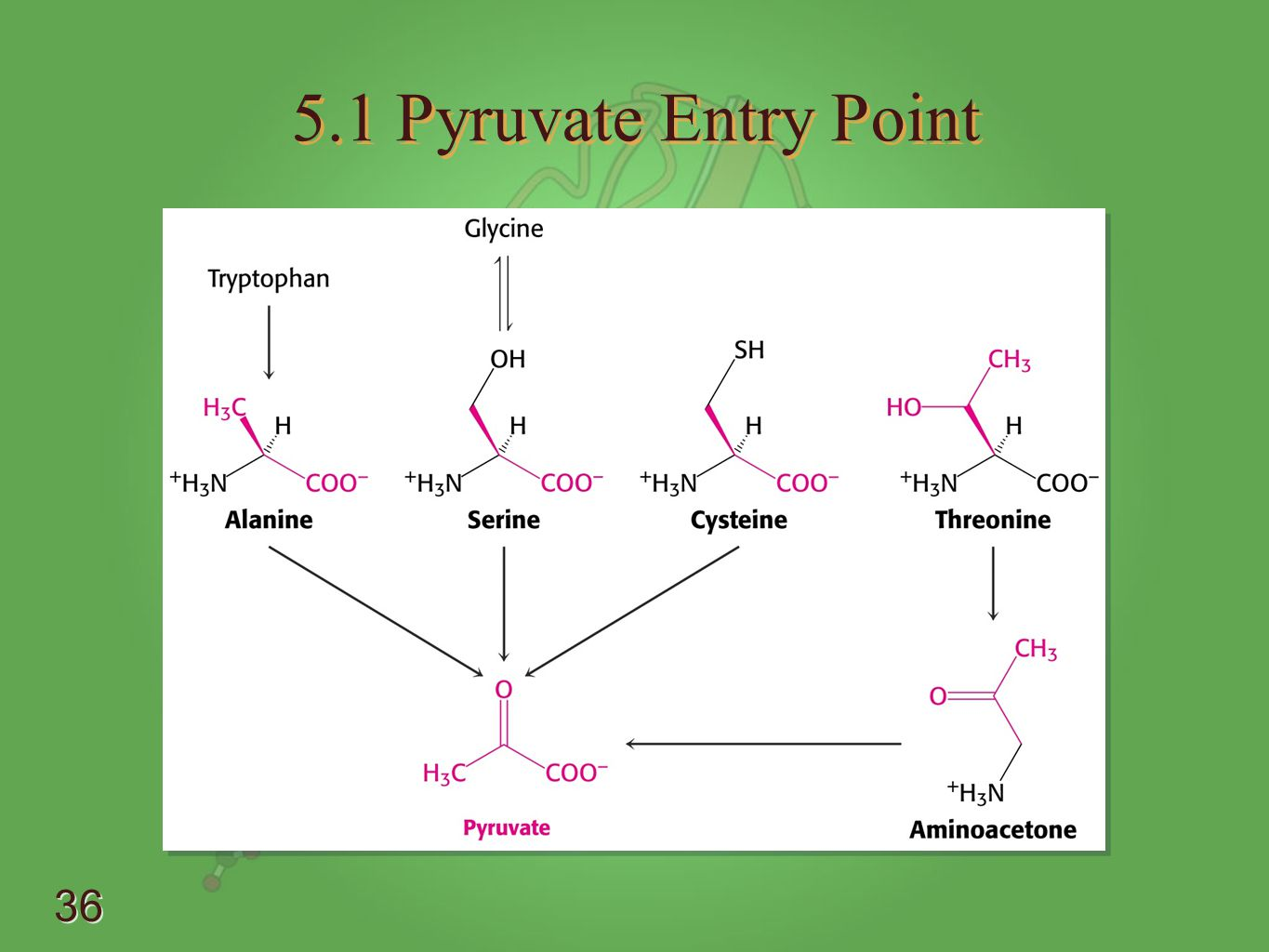 5.1 Pyruvate Entry Point - Know • Alanine - transmination