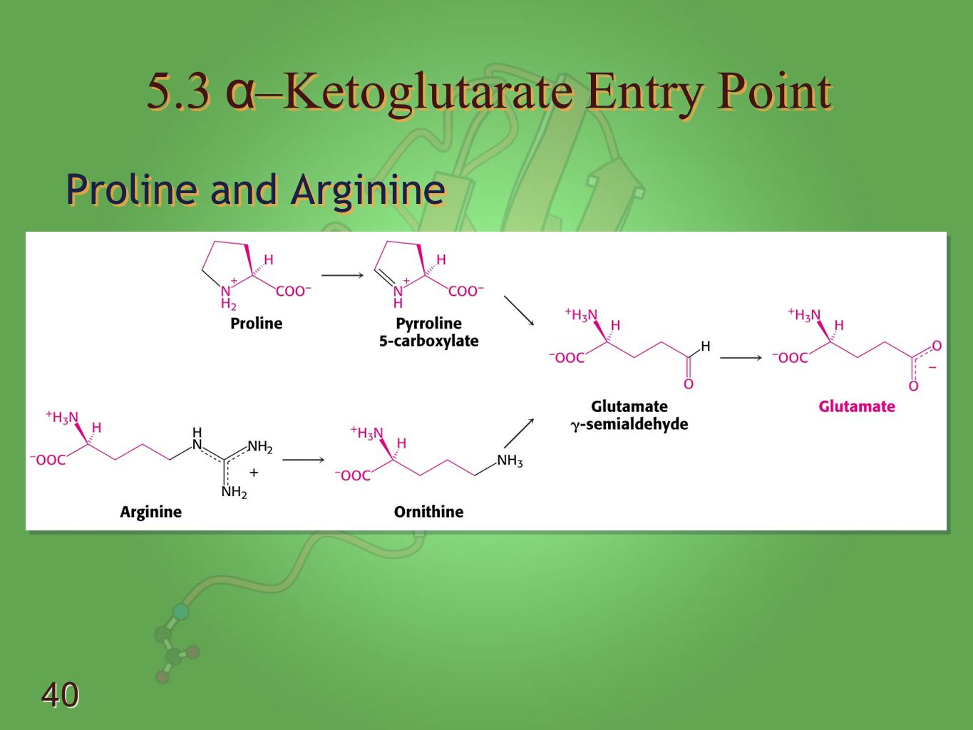 5.3 α–Ketoglutarate Entry Point