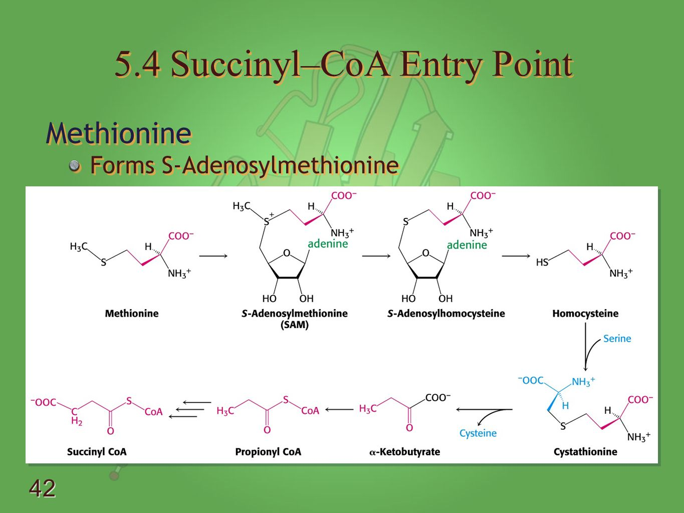 5.4 Succinyl–CoA Entry Point