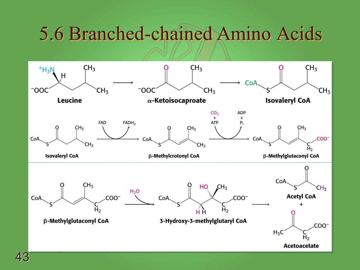 5.6 Branched-chained Amino Acids
