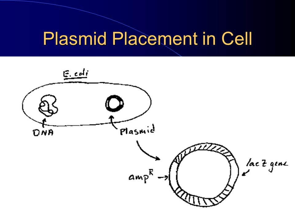Plasmid Placement in Cell