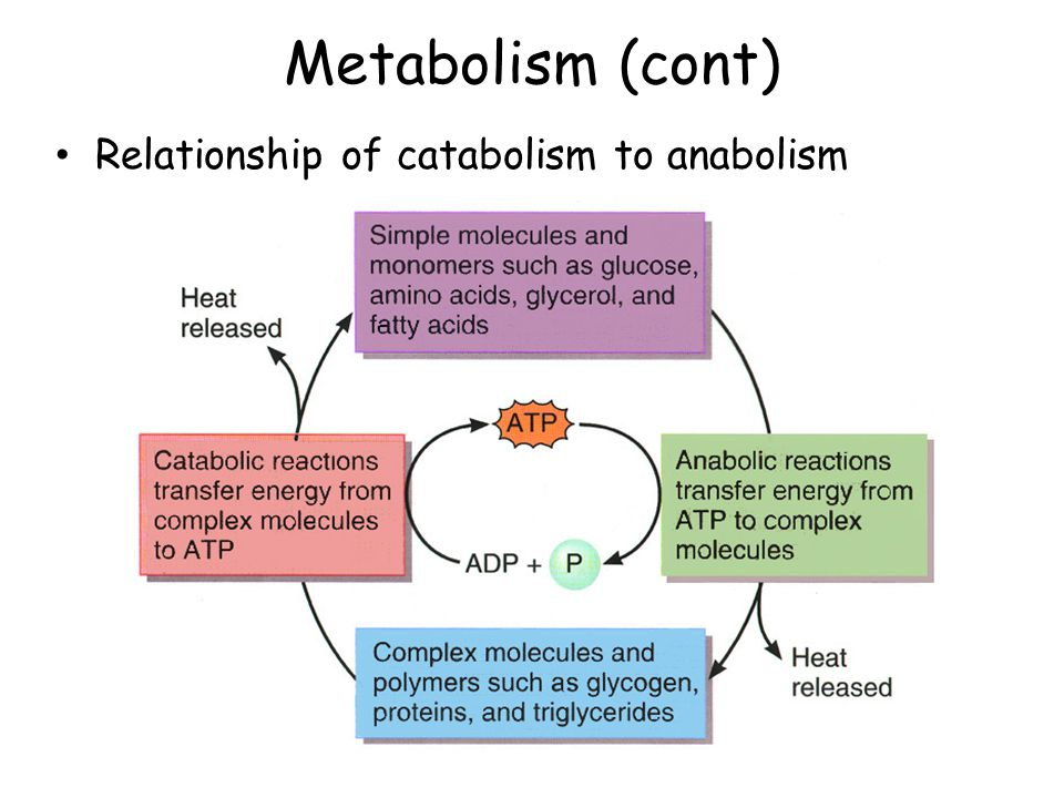 catabolism and anabolism relationship