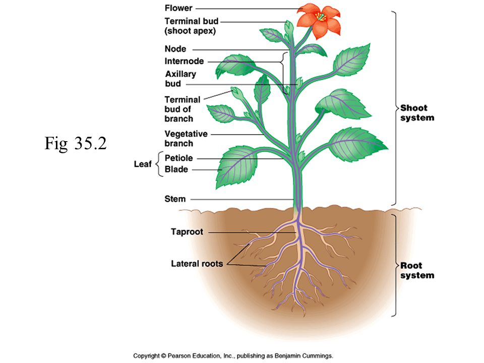 Anatomy of angiosperm 7443164 - follow4more.info