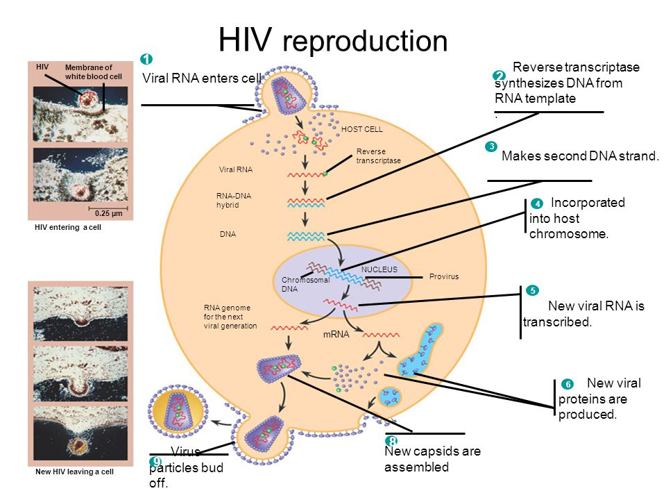 Reverse transcriptase synthesizes a dna molecule from an rna hiv reproduction viral rna enters cell 1 hiv membrane of white blood cell reverse transcriptase synthesizes maxwellsz