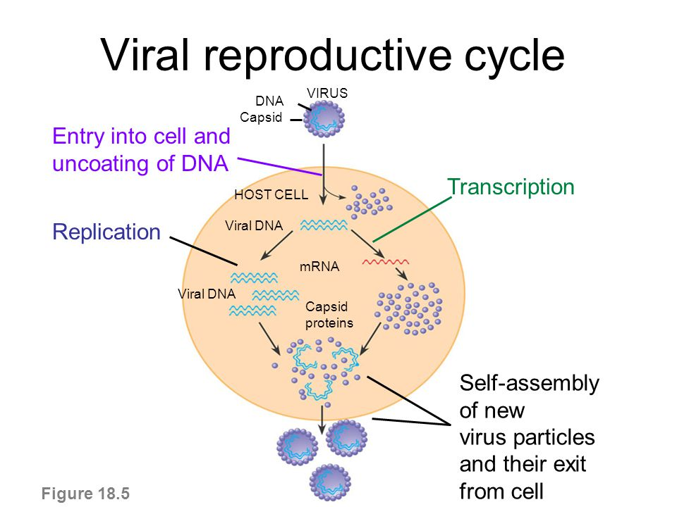 cycles of viral replication In what cycle of viral replication are the viral genes incorporated in the host chromosomes without destroying the cell.
