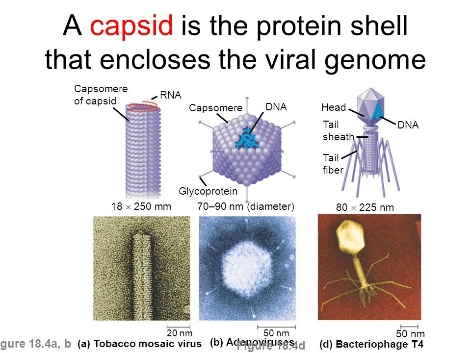 relationship between capsid and capsomere