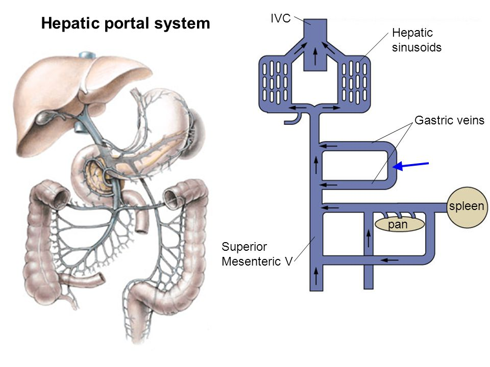 Where on the chest wall can ppt download for Hepatic portal v