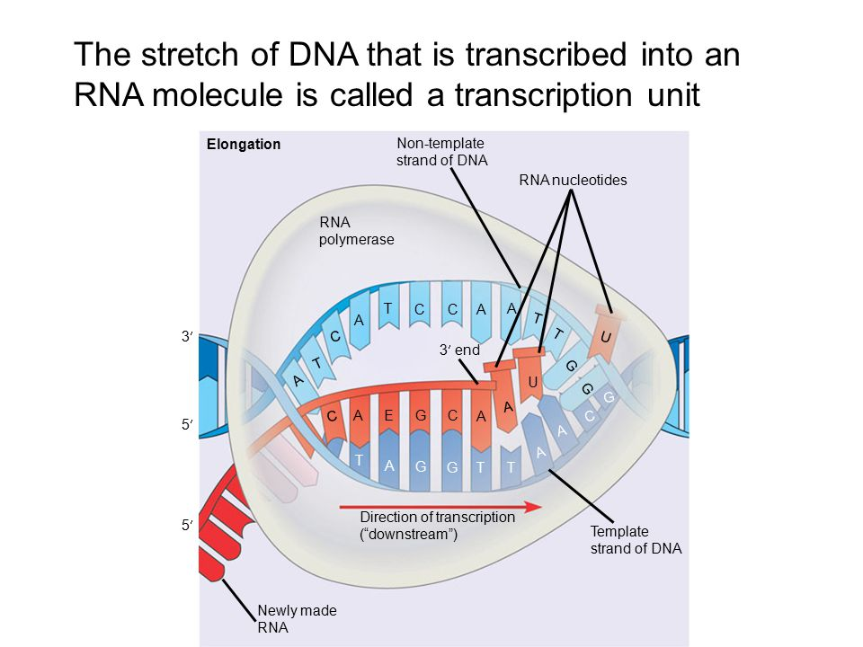 what is a template in dna - chapter 17 from gene to protein ppt download