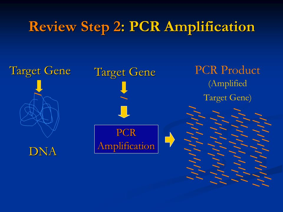 pcr dna amplification Get expert answers to your questions in pcr, dna amplification, platinum pcr supermix kit and primer design and more on researchgate, the professional network for.