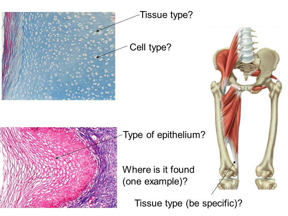 Bone Tissue get Vitamin D handout Quiz #1 opens today and is - ppt ...