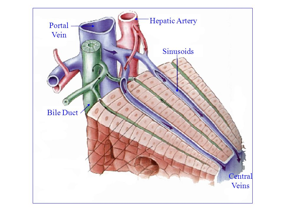 Hepatic Artery Portal Vein Sinusoids Bile Duct Central Veins