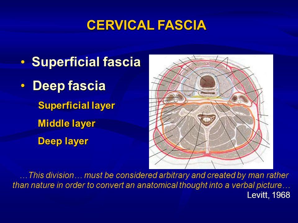 CERVICAL FASCIA Superficial fascia Deep fascia Superficial layer