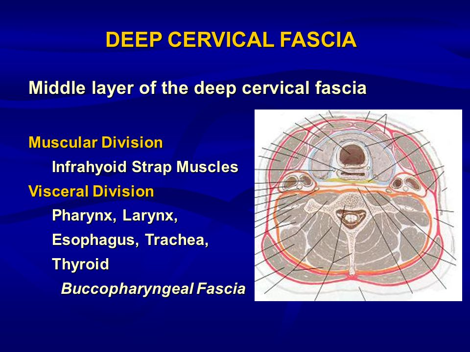 DEEP CERVICAL FASCIA Middle layer of the deep cervical fascia