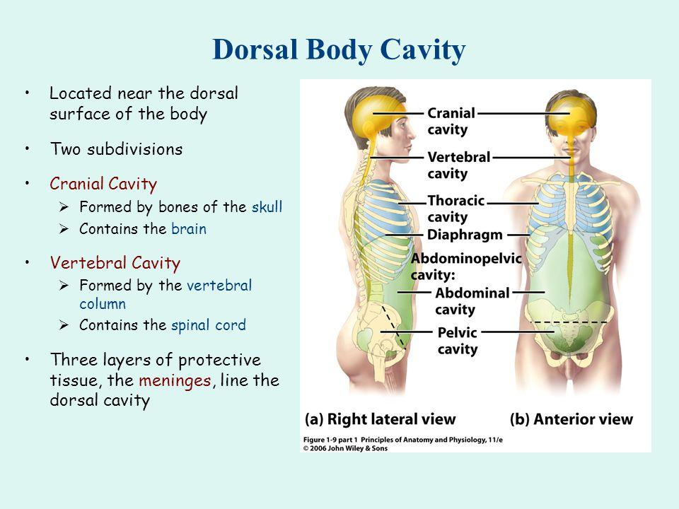 Body Cavities Anatomy Image collections - human body anatomy